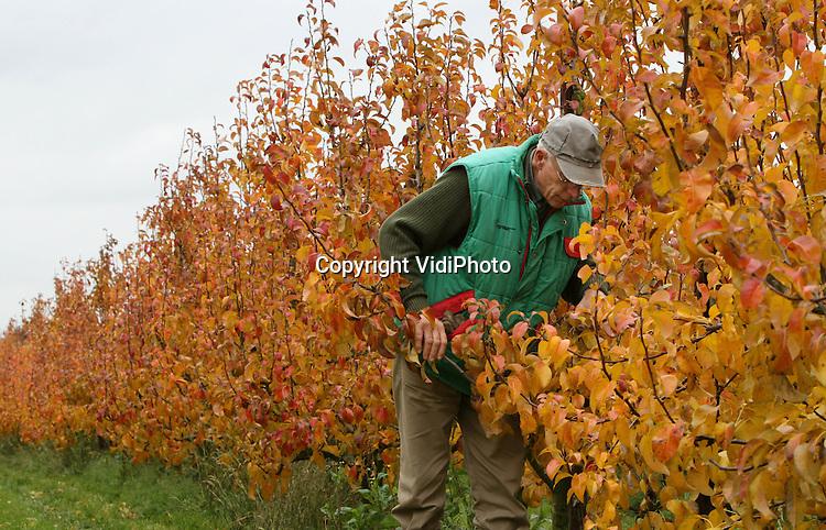 """Foto: VidiPhoto..OCHTEN - Fruitteler Marius van Klinkenberg controleert donderdag de knopzetting van de conferenceperen voor volgend jaar. Tussen de herfstbladeren van de perenbomen is de toekomstige 'oogst' al goed zichtbaar. De voortekenen zijn opnieuw goed. Ook afgelopen jaar was een prima perenjaar. """"Maar het is natuurlijk ook genieten van deze prachtige herfsttinten. Het blad is in een paar dagen tijd enorm snel verkleur. Samen met fruitteler Verwoert uit Ochten bezit Van Klinkenberg zo'n 20 ha. peren."""