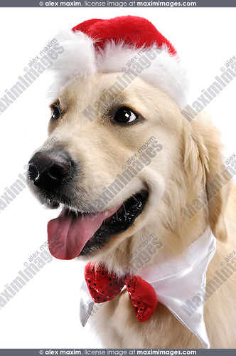 Portrait of One year old Golden Retriever in Santa hat and Christmas bow. Isolated on white background. Brody - Gray Valley Kennels - Toronto.