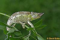 0716-06yy  Jackson chameleon - Chamaeleo jacksonii - © David Kuhn/Dwight Kuhn Photography
