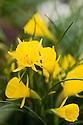 Narcissus bulbocodium 'Golden Bells', one of the hoop-petticoat daffodils.