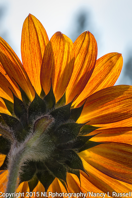 Velvet Queen Sunflower blooming in the garden