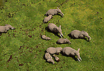 Aerial of elephants fording through a swamp, Kenya