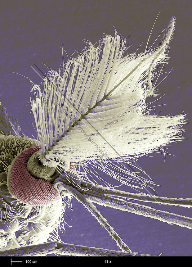 Male mosquito head (family Culicidae).  The large bushy antenna is used to detect females. The individual eye lenses detect levels of light and dark in different directions.  Several mosquito species are vectors for human diseases, including malaria and yellow fever. This is a scanning electron microscope image..The calibration bar is 100 um and the magnification is 41 x.