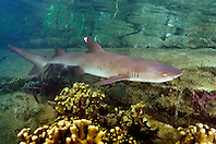 whitetip reef shark, Triaenodon obesus, juvenile (c), Oahu, Hawaii, Pacific Ocean