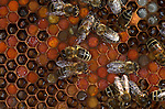 Honey Bee, Apis mellifera, inside hive, showing workers with stored pollen and honey, social, network, .United Kingdom....