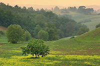 Single tree in agricultural farm field, Tuscany, Italy