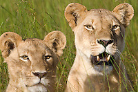 Close-up portrait of two African lions (Panthera leo) in the grass, Botswana.