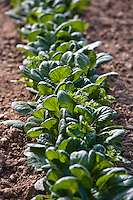 Atlantic  Baby bok choy.