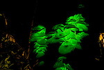 Possibly Pleurotus nidiformis. One of the best-known bioluminescent fungi in Australia.  This is a  large, irregular-shaped fungus with little or no stem, which often grows in dense clusters at the base of living or dead eucalypts.  Bioluminescent mushroom light is created by a chemical reaction. A substance called luciferin reacts with an enzyme, luciferase, causing the luciferin to oxidise, with the consequent emission of light.  Fireflies, glow-worms and a number of marine organisms, such as fish, use bioluminescence to attract prey or mates.