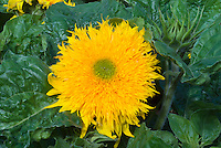 Helianthus 'Double Delight' sunflowers