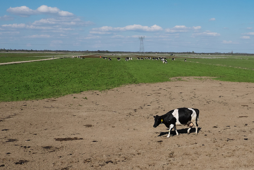 Nederland, Zwartsluis, 2 mei 2015<br /> Natuurboerderij Weidevol. Biologisch melkveebedrijf. <br /> Koeien buiten in de wei. Biologische melkveehouderij. Koeien mogen niet het hele jaar op stal gehouden worden. <br /> Eenzame koe is niet bij de kudde. Een aantal koeien zijn nieuw in deze kudde en voelen zich er nog niet thuis.<br /> <br /> Foto: Michiel Wijnbergh