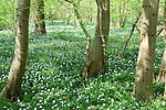 Wood Anemone, Anemone nemorosa, Bluebells, & Lesser Celandine, Ranunculus ficaria