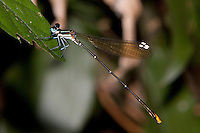 Goldtail Damselfly male perched (Allocnemis leucosticta), South Africa.