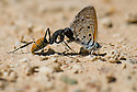 A sodier ant tackles and captures a butterfly that was mud hopping. Rooiputs nature reserve, Kimberley, South Africa.