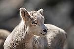 Bighorn Sheep lamb in Montana