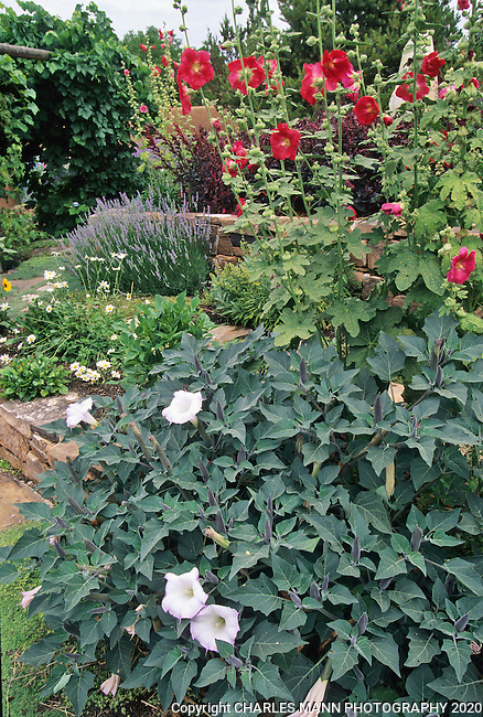 In the southwest andn Rocky Mountain areas, water wise landscape designs come in all colors and shapes and incorporate a wide range of both nativespecies as well as appropriate adapted plants, ranging from succulents and cacti to endemic penstemons and traditional perennials.  Datura and hollyhocks go together in a southwestern xeric landscape.