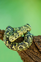 489550011 a captive usambara mountains eyelash bush viper atheris ceratophora sits coiled on a tree stump species is newly recorded and native to the usambara mountains of tanzania