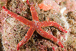 San Clemente Island, Channel Islands, California; a Pacific Comet Star (Linckia columbiae) or Fragile Sea Star sits on the rocky reef