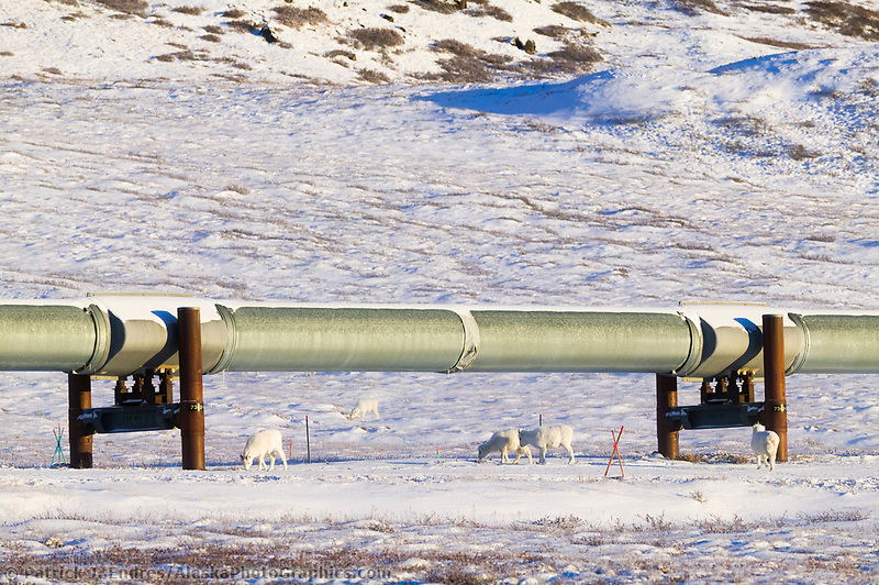 Dall sheep feed along the Trans Alaska oil pipeline at the end of Atigun canyon in the Brooks range mountains, Arctic, Alaska