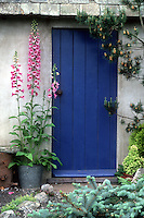 Digitalis in galvanized bucket pot container planter in front of pretty blue door house shed, Picea pungens 'Glauca', Pinus, Picea abies dwarf conifer in pot, variety of evergreen conifer shrubs trees