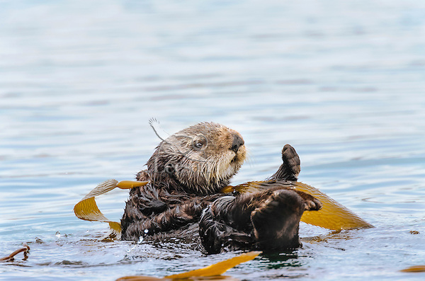 Southern Sea Otter (Enhydra lutris nereis) wrapped in kelp.  Central California Coast.  Being wrapped in kelp helps keep the otter from drifting away with the tide/current/wind while resting.