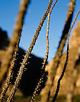 Ocotillo plants on the banks of the Rio Grande River at sunrise, across from Santa Elena Canyon, Big Bend National Park, Texas.
