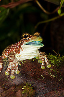 Amazon Milk Frog (Phrynohyas resinifictrix) adult with open mouth, Captivity.