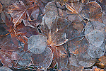 Frost covered Japanese Maple and Quake and Aspen leaves.  ©2013. Jim Bryant Photo. All Rights Reserved.