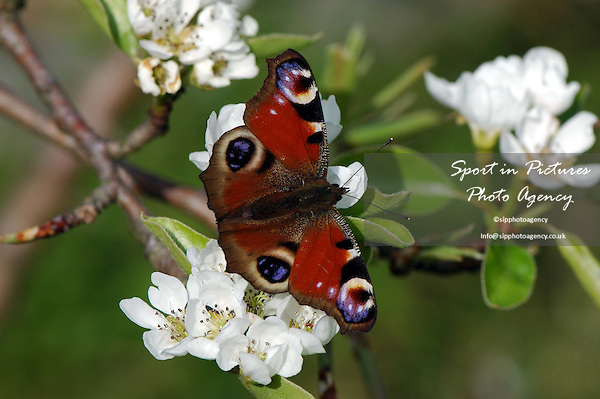 A peacock butterfly on Pear tree blossom