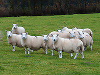 Lairg Type North Country Cheviot ewes, Langholm, Dumfriesshire, Scotland, UK.