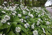 Ramsons wild garlic, Allium Ursinum with bluebell in wild hedgerow, Cornwall, England, UK..