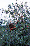 Hand picking apples at June and Robin Small's company, Charlton Orchards, Taunton, Somerset. Their company was chewed up and spat out by the superstores, but they didn't give up. They found a way of surviving, by selling direct to local people. They've become evangelists for community orchards and local marketing.   They're growing about 25 varieties of English apple: one of the last diverse commercial orchards left in Britain.