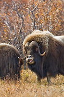 Muskox on the tundra, Seward Peninsula, arctic Alaska.