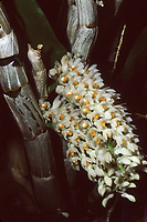 Dendrobium secundum var. album, orchid species, white flowers, aka The Toothbrush orchid, widespread in Asia