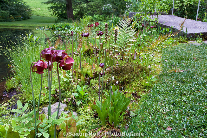 Pitcher plant with purple flowers (Sarracenia purpurea) in bog garden by pond at environmentally-responsible, native plant sustainable garden, Mt Cuba Center Delaware