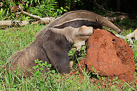 RB554911-D. Giant Anteater (Myrmecophaga tridactyla), grows to 7 feet long including bushy tail, eats thousands of ants and termites daily using worm-like sticky tongue. Captive specimen examining termite mound, Reserva Ecologica Baia Bonita, Bonito, Brazil, South America.<br /> Photo Copyright &copy; Brandon Cole. All rights reserved worldwide.  www.brandoncole.com