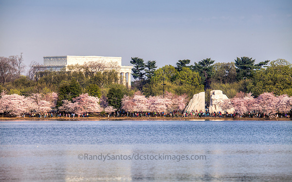 Cherry Blossoms MLK Memorial Tidal Basin Washington DC Cherry Blossoms Jefferson Memorial Tidal Basin Washington DC Cherry Blossoms blooming around the Tidal Basin in Washington, DC symbolize the natural beauty of our nation's capital city and has become part of Washington, D.C.'s rite of spring. Landmarks include the Jefferson Memorial, Washington Monument, and US Capitol. A popular tourist attraction and travel destination for many visiting Washington, D.C.