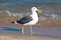 Yellow-Footed Gull, Sea of Cortez, Baja, Mexico
