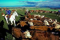 Paniolo (cowboys) rounding up cattle, Parker Ranch, Waimea