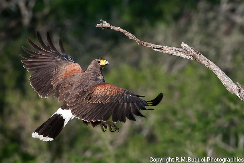 Harris's Hawk flying up to a branch.