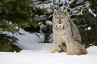 Canada Lynx watching from the edge of a forest - CA