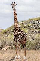 Solitary giraffe standing in savanna, Kenya, Africa (photo by Wildlife Photographer Matt Considine)
