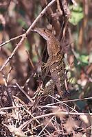 Central American Gecko