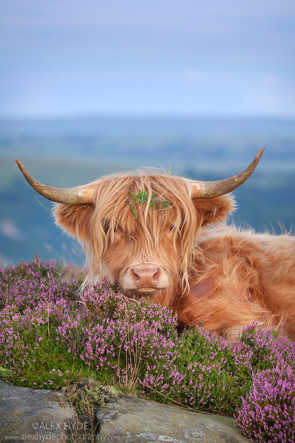 Highland cow in heather on Curbar Edge, Peak District National Park, Derbyshire. August.