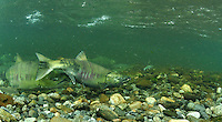 Spawning Chum Salmon<br />