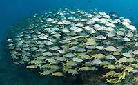 A large school of mostly Tomtate Grunts, with a Trumpet Fish center frame.