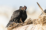 Adult Crowned Cormorants greet at their nest site, Malgas Island, West Coast National Park, Western Cape, South Africa