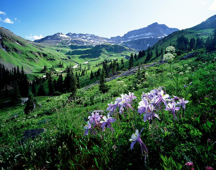 """Columbine flowers, Yankee Boy Basin   COLORADO"""