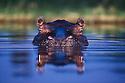 Hippopotamus (Hippopotamus amphibius) in water, portrait, Okavango Delta, Moremi Game Reserve, Botswana