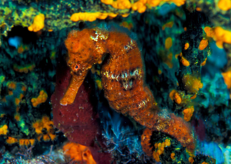 An orange longsnout seahorse (Hippocampus reidi) shelters under coral